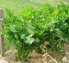 Выращивание сельдерея: особенности и секреты в одной статье