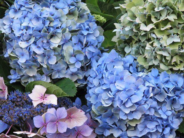 Blue Hydrangea @ Butchart Garden