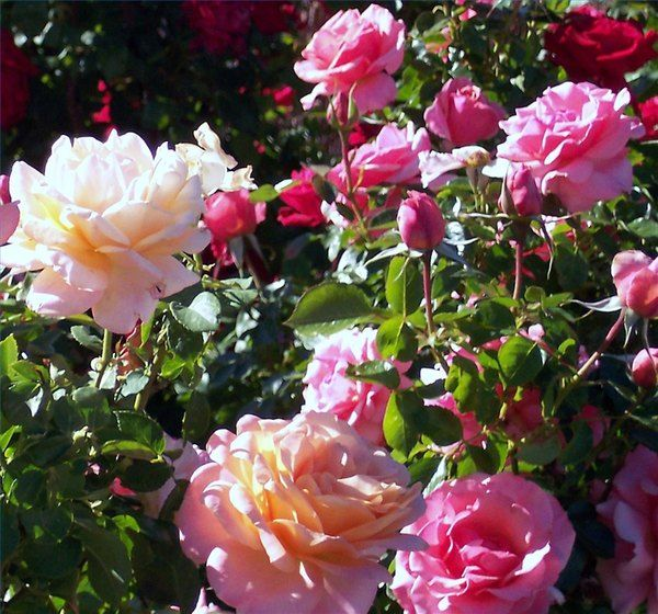 Although Roses Are Soft And Fragile The Rose Bush Is Resilient And Adjusts To Almost Any Environment Wi Trim Rose Bushes How To Trim Roses When To Prune Roses