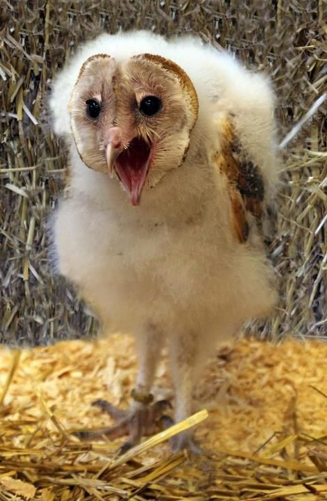 a baby barn owl
