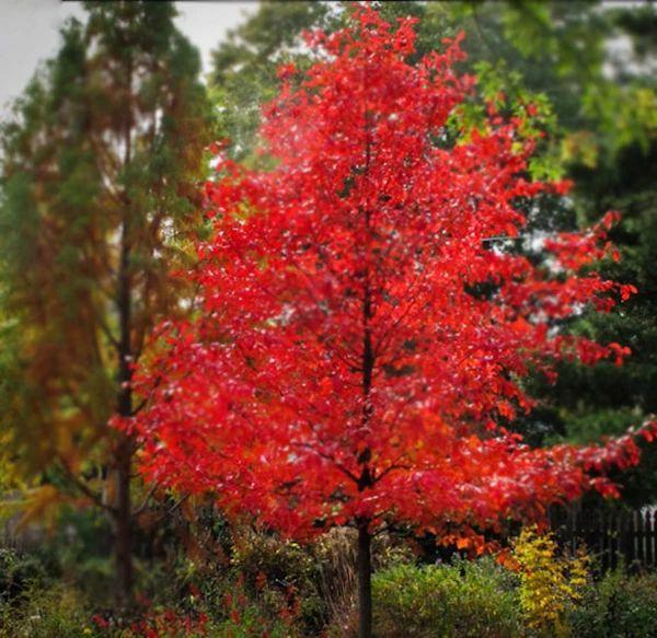 Wildfire Black Gum (Tupelo) Black gums, Shade trees