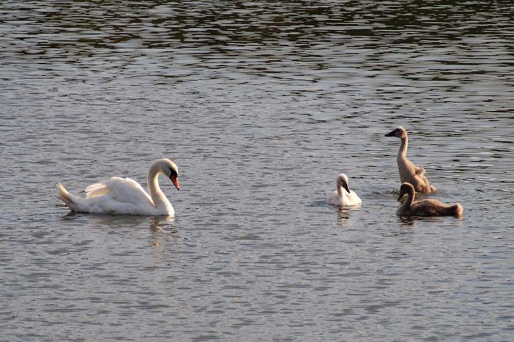 Labutí rodinka na konci léta