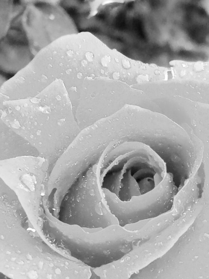 Fresh rain on a rose in black and white