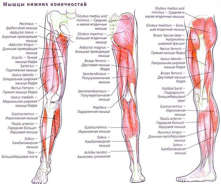 Анатомия мышц ног человека в картинках