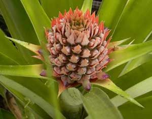 As tropical plants go, pineapples are one of the easiest to grow.data-pin-do=