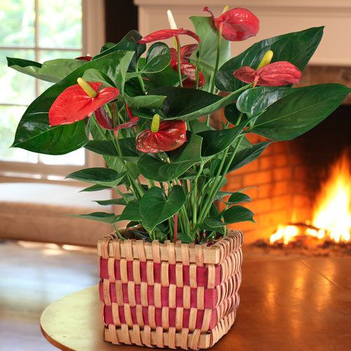 Anthurium in Red and Honey Basket:  Anthuriums are a popular houseplant as much for their gorgeous large, dark green, heart-shaped leaves as they are for their eye-catching blooms. The flowers, however, actually aren't flowers -- they're spathes, which are leaves that flare out on the base of the stem. -- This product is no longer available, however click the image to see this year's New Gift Plants!
