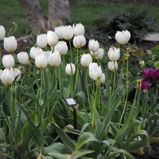 Mizzou College Tulips