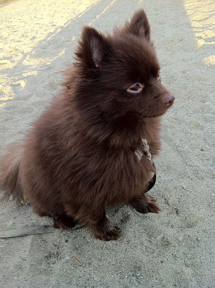 chocolate brown pomeranian! so cute!!