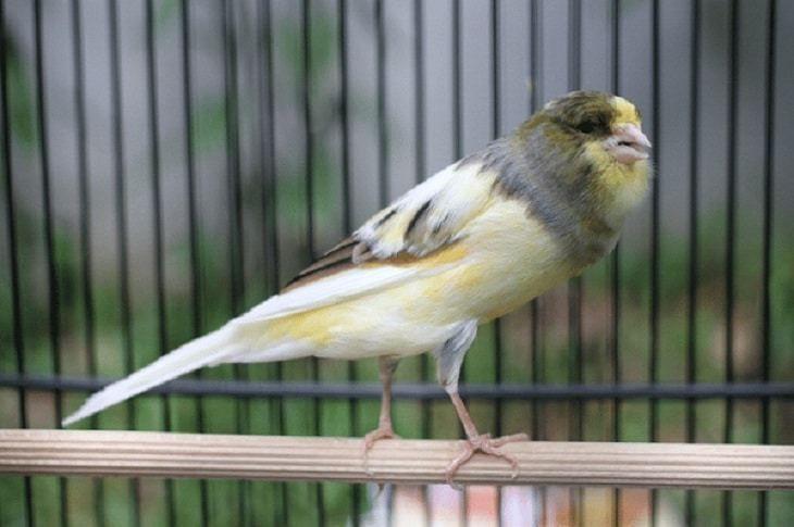 Cara Merawat Kenari Loper Agar Cepat Gacor Kenari Betina Burung