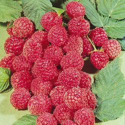 Wholesale Raspberry Glen Ample - Parkers Wholesale