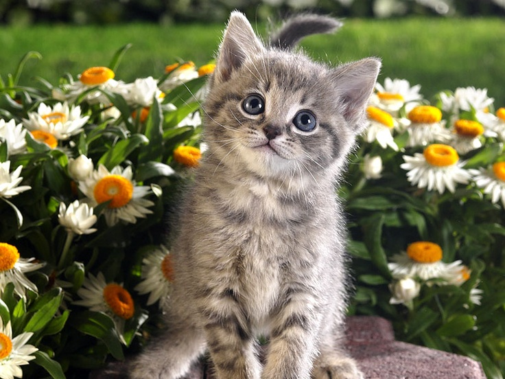 Tabby in the flowersSpring Flower, Beautiful Beast, Funny Cat, Sleep Animal, Cutest Kitten, Desktop Wallpapers, Dogs Pictures, Persian Cat, Cat Photos