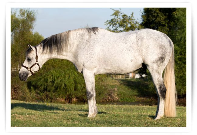 Truly Priceless - 16.3H Gray AQHA Stallion - Congress Top Tens
