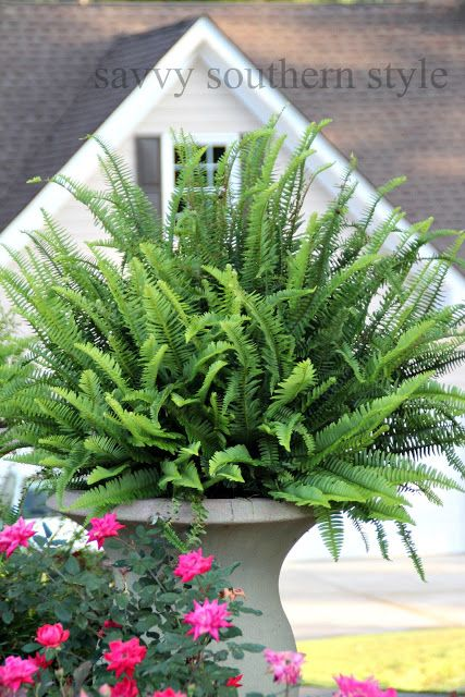 1000 images about boston fern on pinterest boston ferns Savvy home and garden