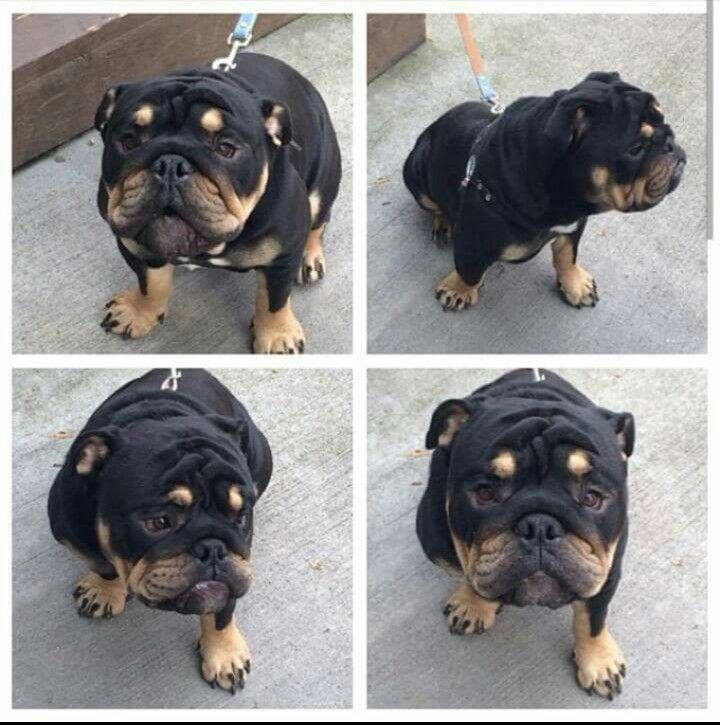 English Bulldog  mixed with Rottweiler