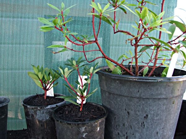 Native pepper is a strong spice. These plants were young when I took this pic but they are out in their own bed now and growing well. I have one male and two female bushes so I will be able to sell leaves and berries when they are bigger.