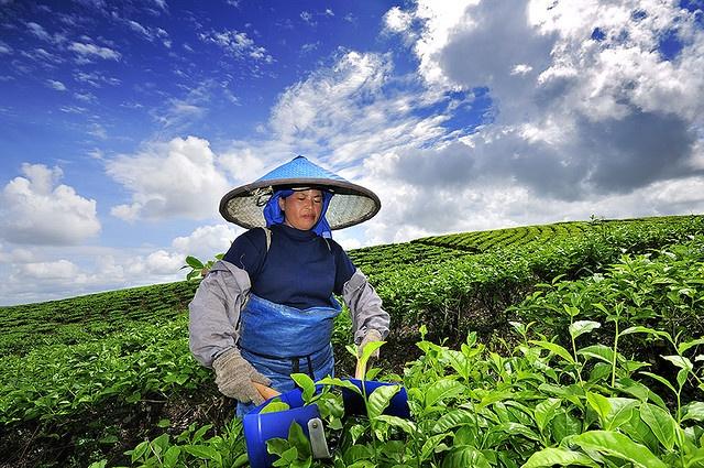 tea plantation @ lake toba