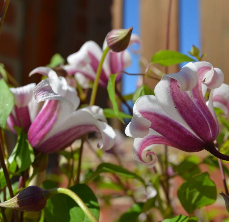 Clematis Princess Kate - Prune hard (group 3).  Stupid name, but pretty flowers!