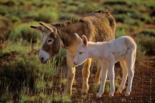 Coming Your Way: Donkey Milk Powder