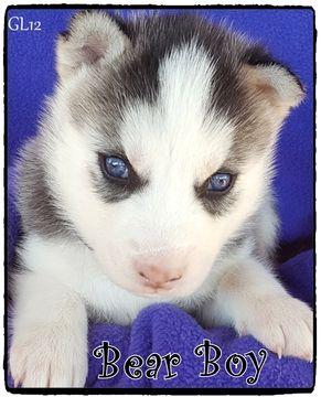 Litter of 8 Siberian Husky puppies for sale in QUINLAN, TX. ADN-27055 on PuppyFinder.com Gender: Male. Age: 3 Weeks Old