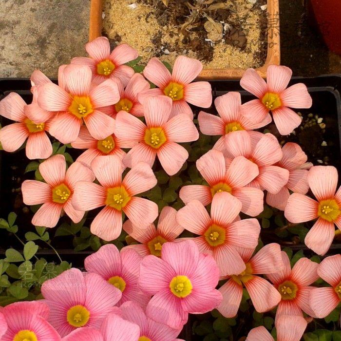 Если Му ▍ ▍ осенней посадки травы мяч Oxalis obtusa Coral Coral Здоровье мини-комнатные цветы очень близко