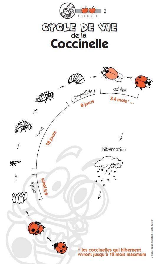 French Science: le cycle de vie de la coccinelle