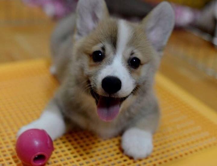 happy corgi playing with dog toy | animals | Pinterest