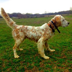Mango - See Video! is an adoptable English Setter Dog in Argyle, TX. Mango is a 7 years young purebred English Setter with papers. His life before rescue was a hunting dog and a kennel life. This eas...