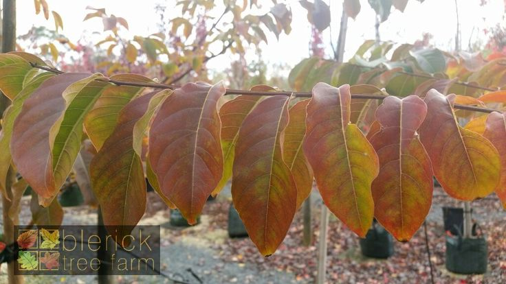 Lagerstroemia indica x faurei – Biloxi – Purchase Bare Rooted Trees Online