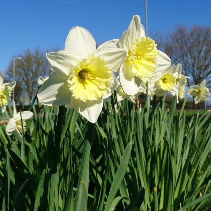 I am starting to think I dreamt up the weather on Wednesday so I am sharing a pic I took on my lovely walk to remind me of sunnier days. They will return!!  #ukmumsquad #daffodils #spring #sunshine #bluesky #flowers