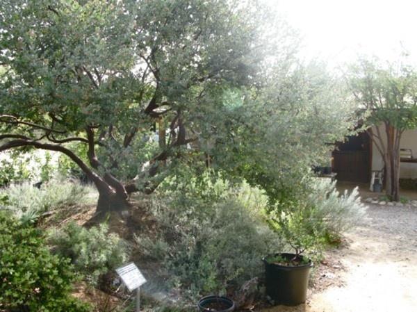 Lemonade Berry tree. California native.