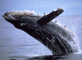 Humpbacks come in 4 different color schemes, ranging from white to gray to black to mottled. An average-sized humpback whale will eat 4,400-5,500 pounds of plankton, krill and small, schooling fish each day during the feeding season in cold waters. Humpback whales live at the surface of the ocean, both in the open ocean and shallow coastline waters. When not migrating, they prefer shallow waters. They migrate from warm tropical waters, such as waters off the Florida coast, where they breed…