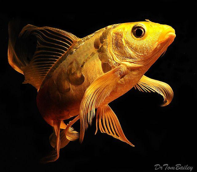 Golden Koi Fish | Fiška | Pinterest