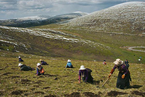 Ez a gomba a fejbe száll. Először az éjszakai lepkék lárváinak fejébe , majd az emberekébe, akik jólétet egészséget és potenciát kapnak tőle. A neve Cordyceps sinensis , vagy hernyógomba, hazája a Himalája környékimagashegység, ára pedig magasabb, mint az arany.   Tibet, Nepél, Bhutan térségében évről évre...