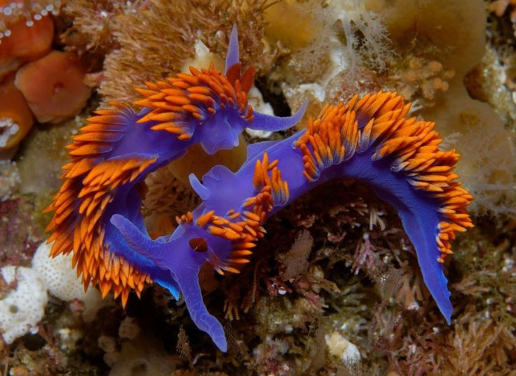 Make way, sea slug parade floats coming through! If Mardi Gras happened in the ocean, we're pretty sure Spanish shawl nudibranchs would lead the revelry. More than just a pretty slug, a nudibranch's gaudy colors warn off hungry predators–their bright...