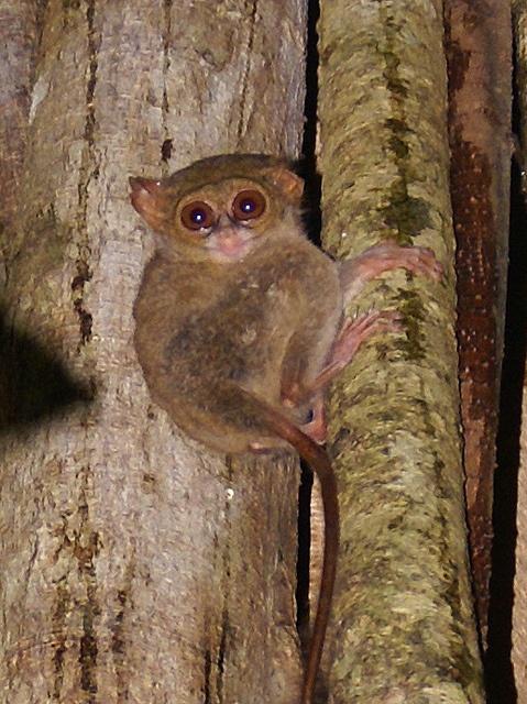tarsier, north Sulawesi, Indonesia