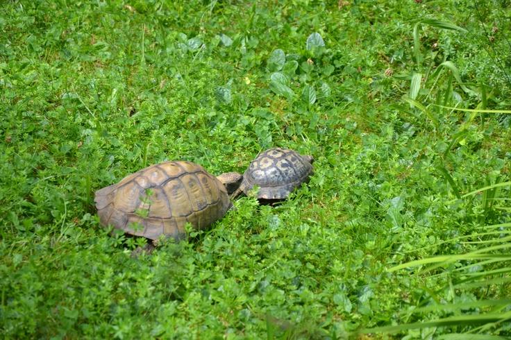 """Zwei """"Oldie-Schildkröten"""", jede über 50 Jahre. (©Foto: Sofia Delgado)"""