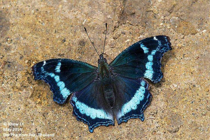 blue admiral - Singapore | Butterfly, Admiral, Animals