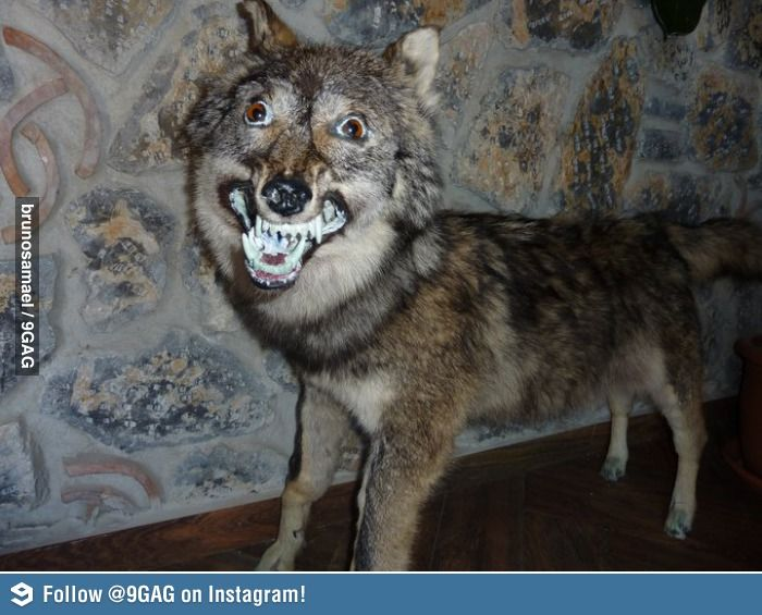 Insanity Wolf's retarded brother   Never go full moon moon ...