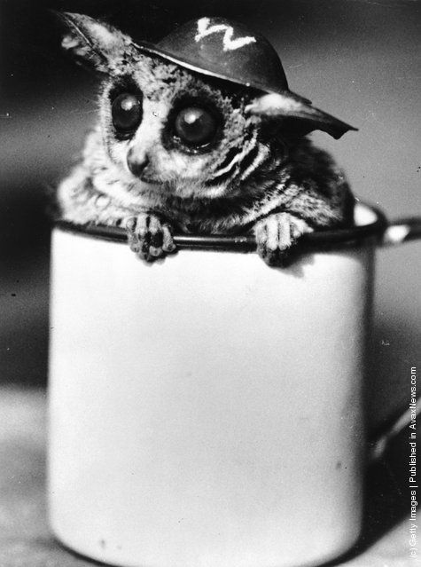 George the bush-baby, or galago, wearing an ARP (Air Raid Precautions) tin helmet as he sits in an enamel mug