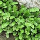 Leptinella dioca - native ground cover - tiny fern like leaves will tolerate light to medium foot traffic