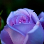 Love this photoFlower Rose, Favorite Things, Purple Rose, Colors Periwinkle, Flores Violeta, Flower Gardens, Pink Purple, Fantasy Gardens, Beautiful Rose
