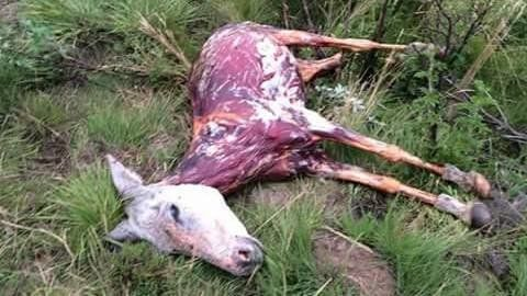 Sponsorizza Democratic Alliance: STOP SOUTH AFRICA'S DONKEYS FROM BEING BLUDGEONED WITH HAMMERS AND SKINNED ALIVE!