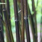 Black Bamboo  Slim black canes and small leaves  Crocus
