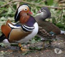 Photos Vivastreet canards mandarin et oeufs à couver