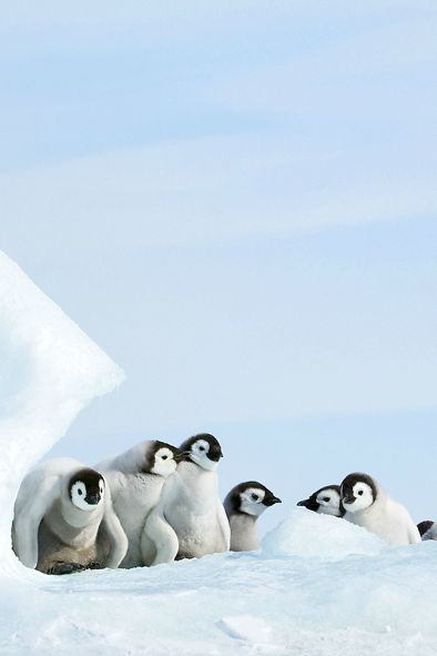 sweet little Penguins (by David C. Schultz)