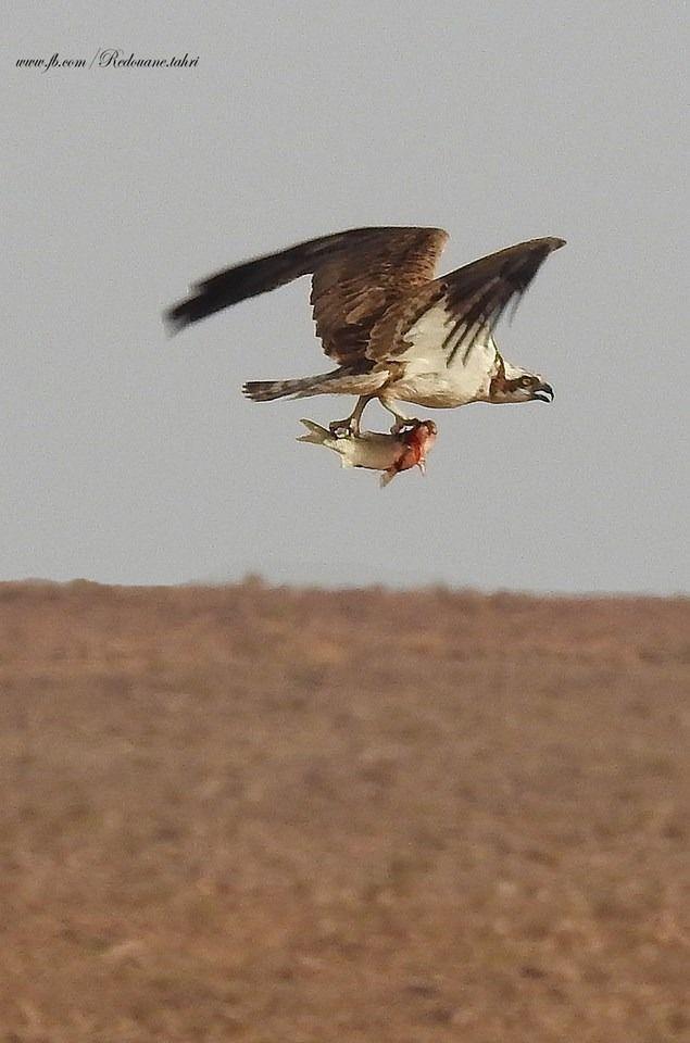 الساورة بشار عقاب يصطاد السمك من السد Bald Eagle Horses Animals