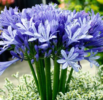 """Love Flower"" Wholesale Agapanthus, eco-friendly supplier. Free shipping. 60 stems $109.99."