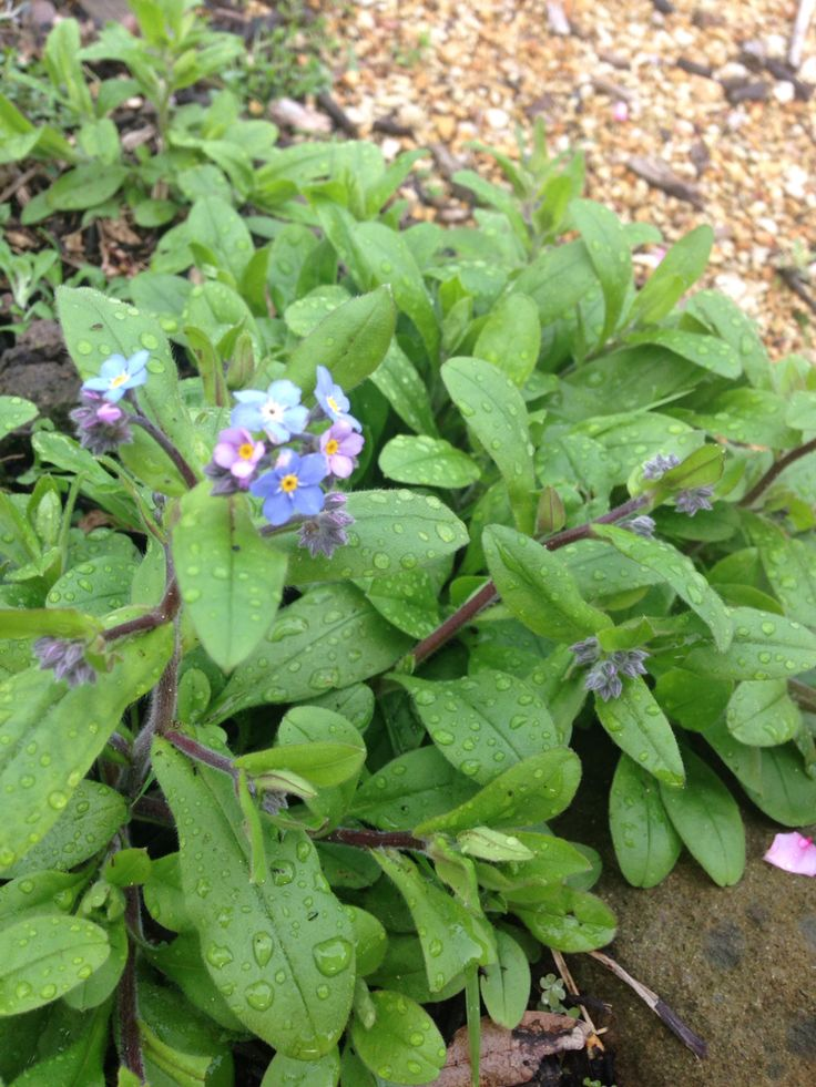 Forget-me-nots in our front garden