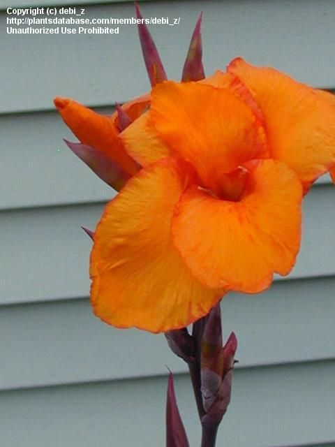 Full size picture of Canna Lily 'Wyoming' (<i>Canna x generalis</i>)