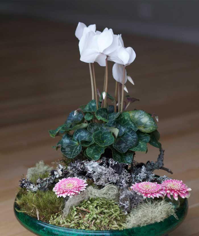 Alpefiol (Cyclamen persicum) hører til i Nøkleblomfamilien / Primulaceae